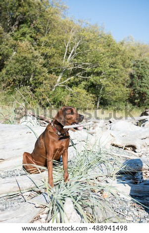 Redbone Coonhound and Rottweiler Mix Dog Relaxing on Beach After Swimming