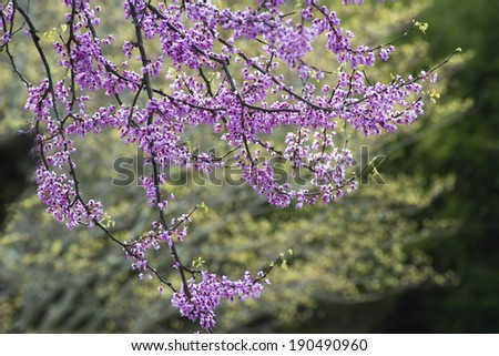 Redbud blooms against a background of Dogwood blooms. - stock photo