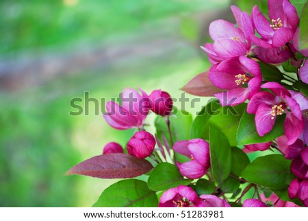 Redbud tree branch with bright pink blossoms. Selective focus on flowers with copy space at left - stock photo