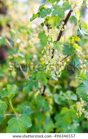 Redcurrant bush flowering