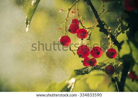 redcurrant closeup wallpaper with sunlight and water mist - stock photo