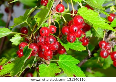 Redcurrant that growes in my garden - stock photo