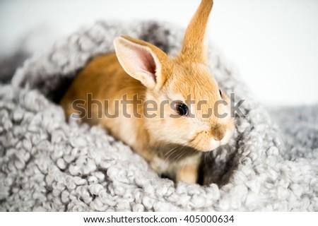 Reddish brown easter bunny sitting in fleece on white background - stock photo
