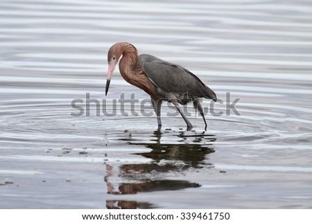 Reddish Egret (Egretta rufescens) hunting in the Florida Everglades - stock photo