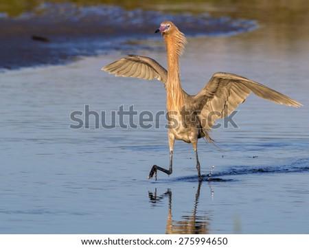 Reddish egret (Egretta rufescens) hunting in tidal marsh at sunrise, Galveston, Texas, USA. - stock photo