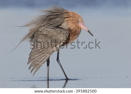 Reddish Egret (Egretta rufescens) in breeding plumage extending a wing while it forages in a shallow tidal lagoon - St. Petersburg, Florida - stock photo