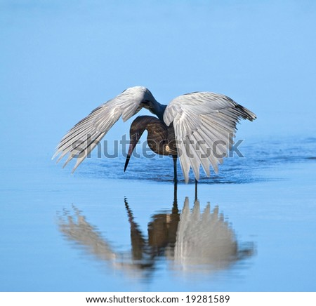 Reddish Egret hunting by shading the water - stock photo