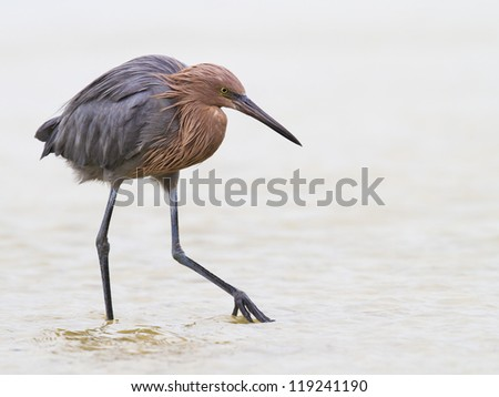 Reddish Egret shuffling the Everglades' waters - stock photo