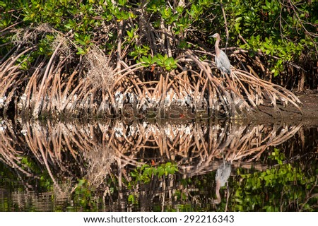 Reddish Egret sitting in Cypress tree roots on a cool fall morning. The bird and trees reflecting in the water.