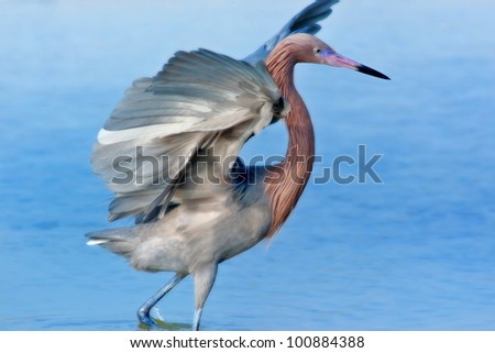 Reddish Egret spreading his wings. Latin name - Egretta rufescens. With copy space. - stock photo