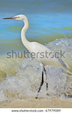 Reddish Egret White Morph standing on shore of Gulf of Mexico. Latin name - Egretta rufescens. - stock photo