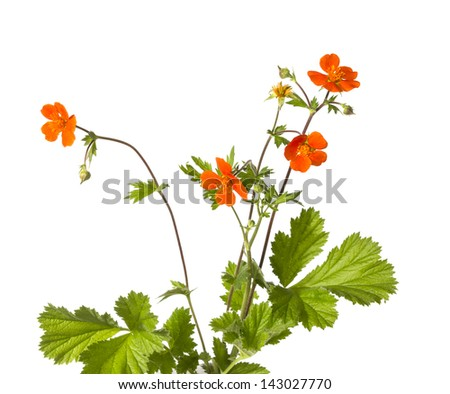 Reddish yellow flowers and leaves of the wildflower Potentilla atrosanguinea or cinqfoil plant isolated on white - stock photo