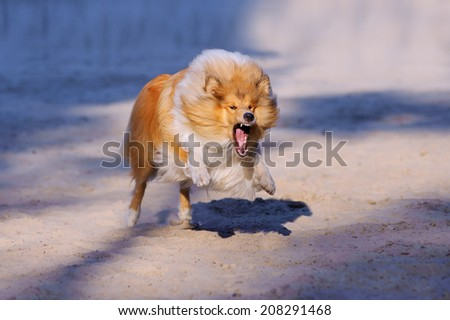 Redhead collie dog with open mouth and bared teeth rushes forward at the viewer on a neutral background - stock photo