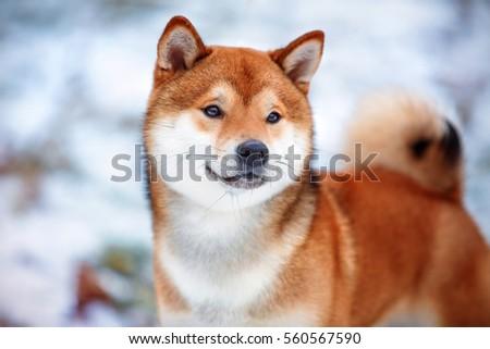 Redhead shiba inu