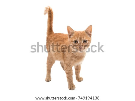 redhead kitten isolated on white background