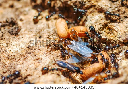 Redhead queen ant with wings leaves spring anthill. natural composition