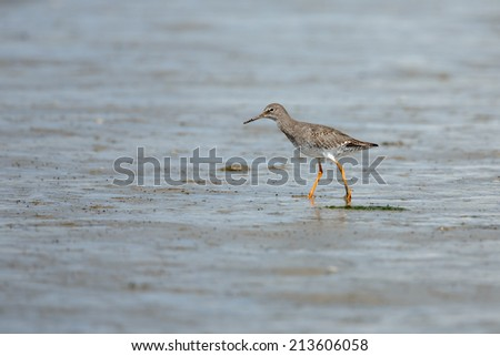 Redshank walking at shore