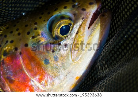 Redside rainbow trout native to the Deschutes River in Oregon. - stock photo