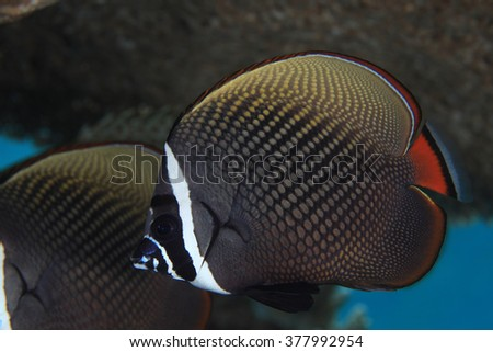 Redtail butterflyfish (Chaetodon collare) in the indian ocean  - stock photo