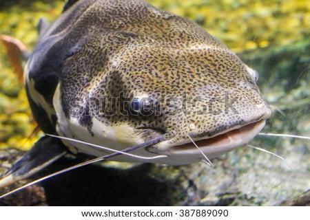 Redtail catfish (Phractocephalus hemioliopterus) - stock photo
