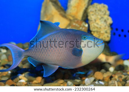 Redtooth triggerfish (Odonus niger) in Japan
