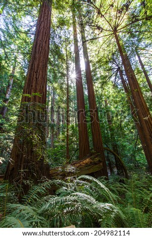 redwood forest in san francisco bay area - stock photo