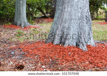 Redwood mulch around the base of Oak trees to help hold in moisture with shallow dept of field - stock photo
