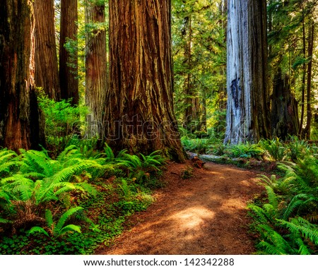 Redwood national park, pathway through the redwoods giants  - stock photo