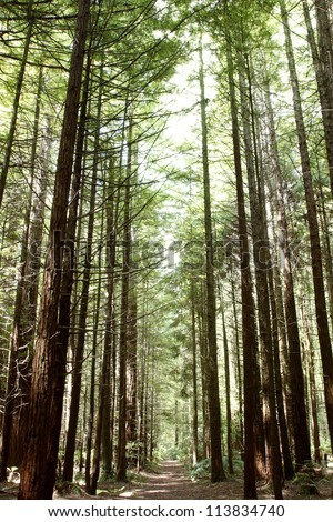 Redwood tree forest