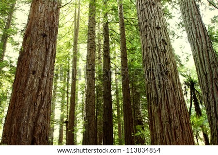 Redwood tree forest - stock photo