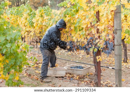 REDWOOD VALLEY, CA - OCTOBER 23, 2013: An unidentified vineyard worker picking wine grapes during the annual harvest