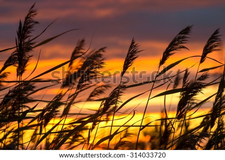 Reed against the background of a dramatic sunset - stock photo