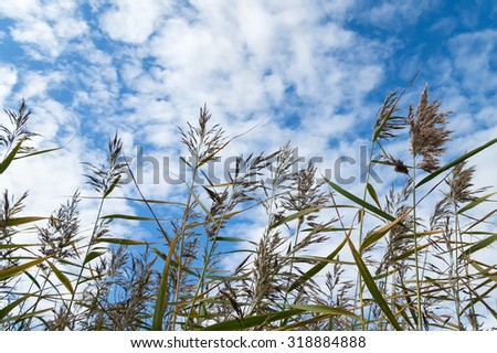 Reed against the background of the cloudy sky - stock photo