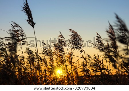 Reed against the sunset - stock photo