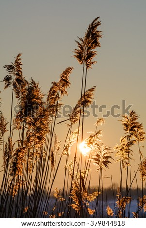 Reed against the sunset. Vertical view with reed against winter sunset. - stock photo