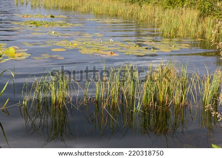 Reed and water lilies at the shore of Loch Aboyne, Scotland - stock photo