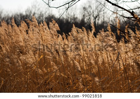 Reed at sunset - stock photo
