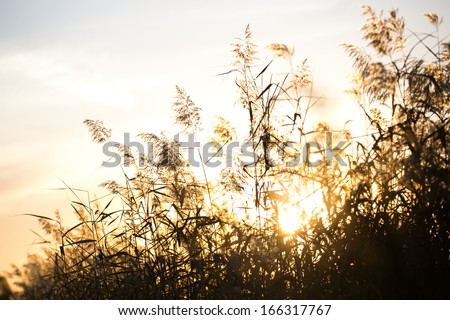Reed autumn sunset