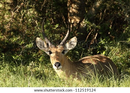 Reed buck ram resting under a bush in the daytime. - stock photo