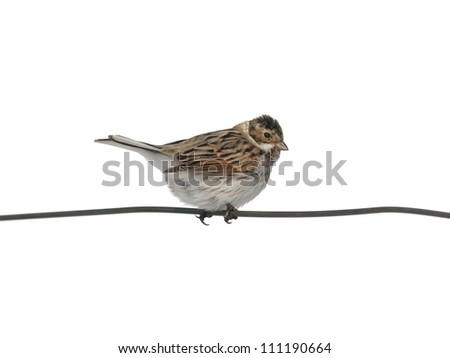 Reed Bunting alighted on a wire, isolated on white - stock photo