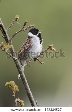 Reed bunting, Emberiza schoeniclus, single male singing from perch, Midlands, May 2010