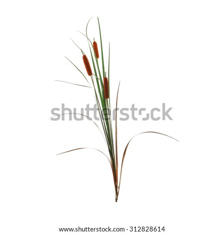 reed cane grass Isolated on white background - stock photo