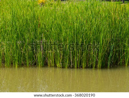 Reed field in swamp, typha angustifolia papyrus dense in wetland - stock photo