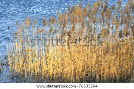 Reed in Frozen Lake in Hungary - stock photo