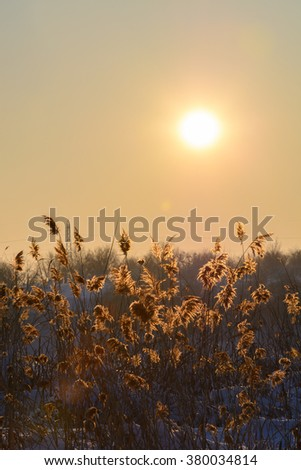 Reed in snow and sun over the sky. Vertical view with reed against winter sunset and snow.