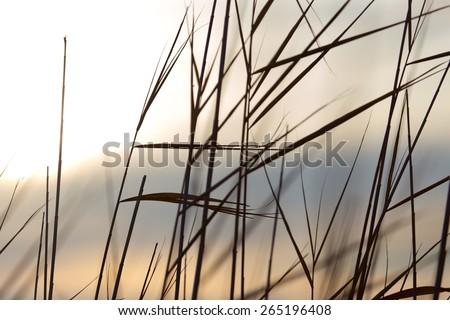 reed on background sun dawn - stock photo