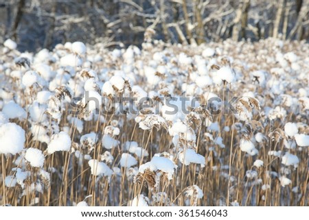 reed on snow background, winter landscape. Frozen lake