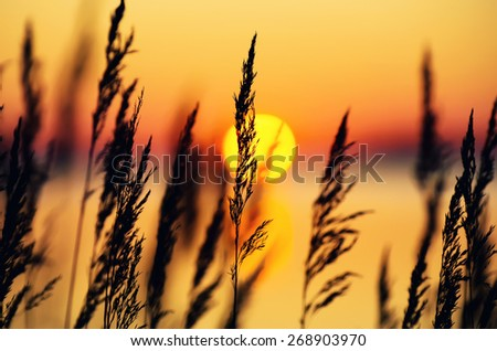 Reed on the bank of the lake in the foggy morning - stock photo