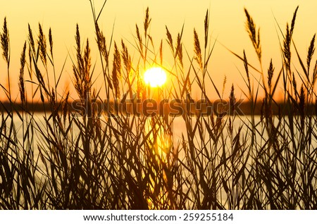 Reed on the lake in the early morning - stock photo