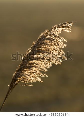 Reed plume - Rietpluim - stock photo